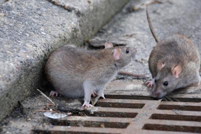 The Battle Against Rats In Italys Historic Capital Www